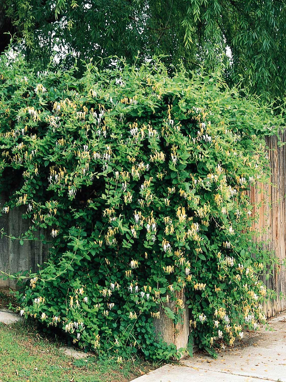 Diätpillen mit Plantasia