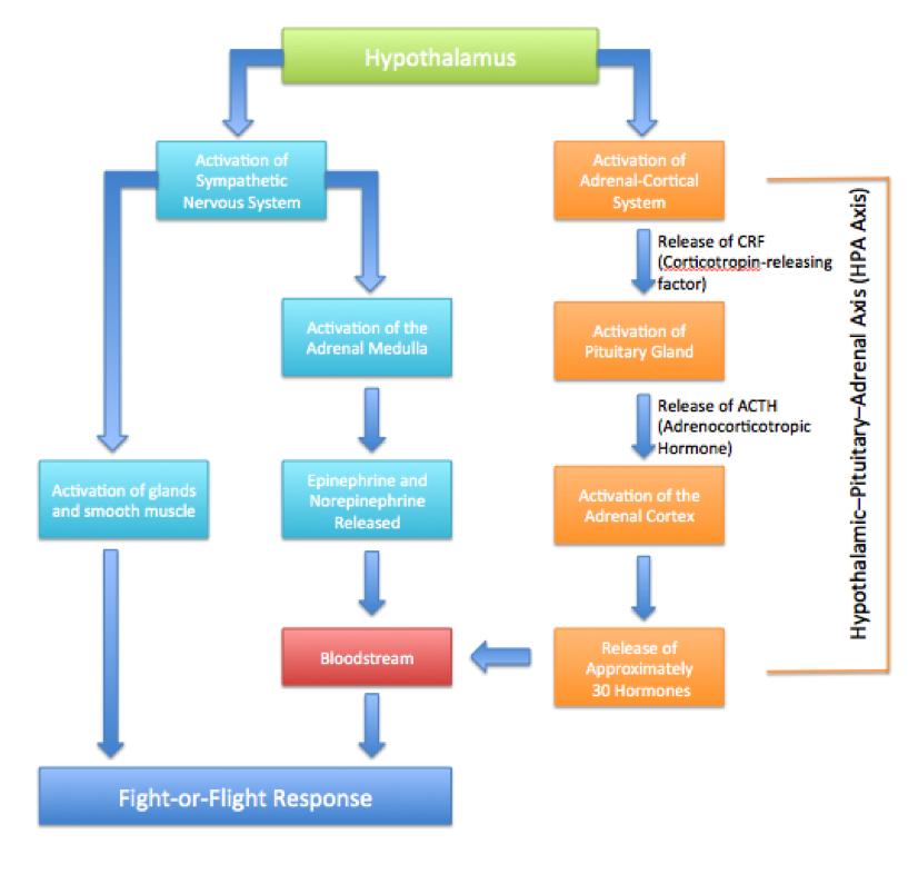 Image result for fightorflight response diagram Fight