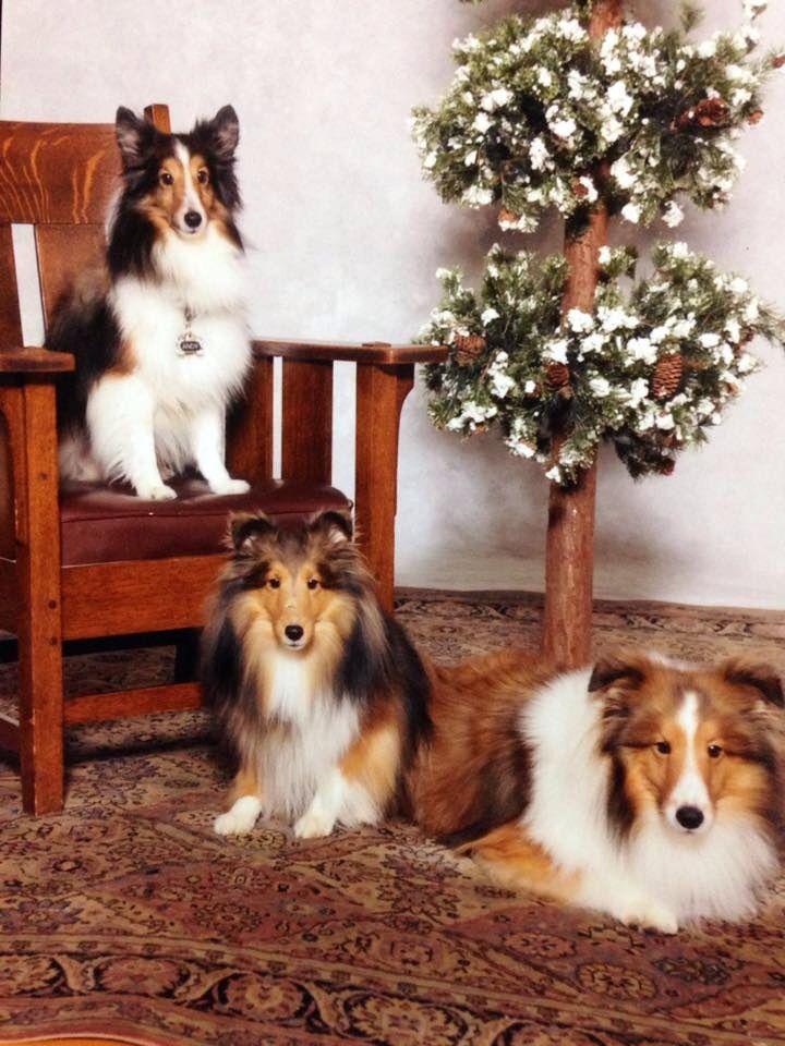 A Small Family Tree Dogs Pets Shelties Facebook Com Sodoggonefunny