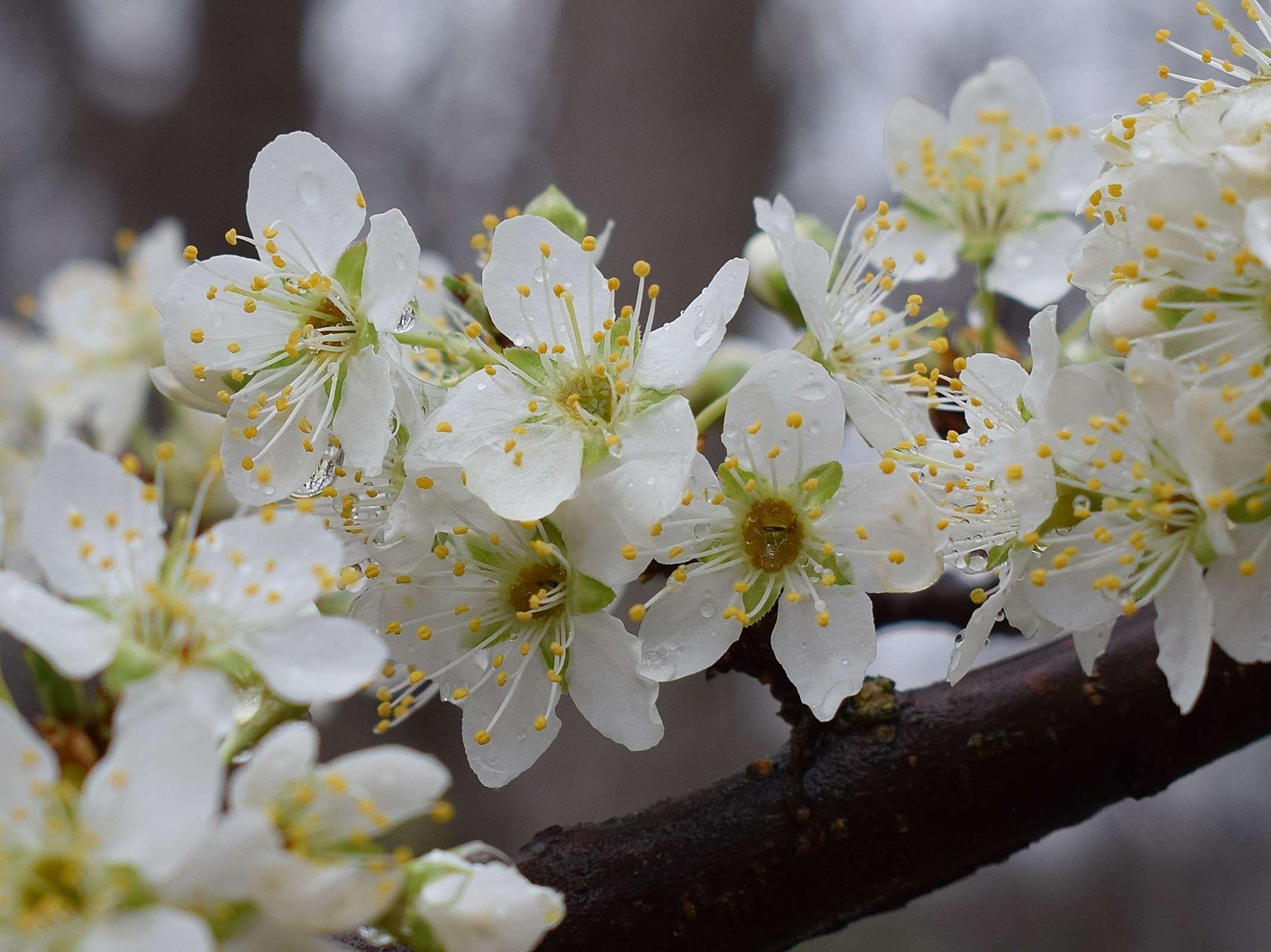 Bloom Blossom Cherry Cherry Blossoms In The Rain Cherry Tree Edible Flower Fruit Nature Rain Raindrops Spring Springti Bloom Blossom Blossom Bloom
