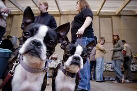 Three Different Boston Terriers Were Used For Georgia In Hotel For