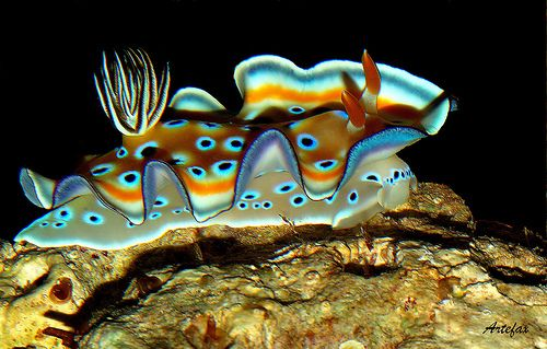 chromodoris kuniei - nudibranch