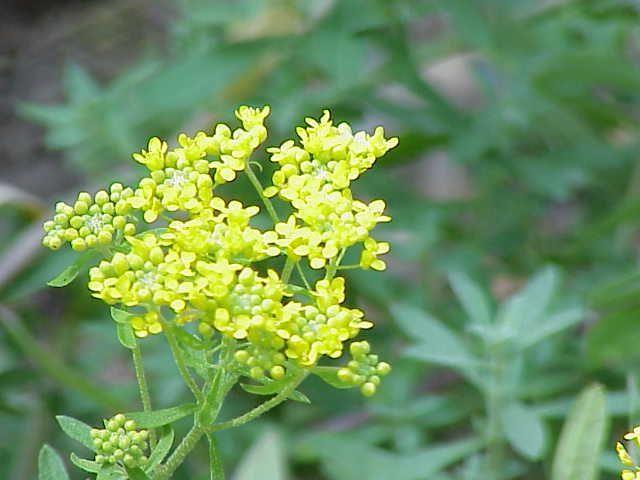 Alyssum Murale - flora of North America
