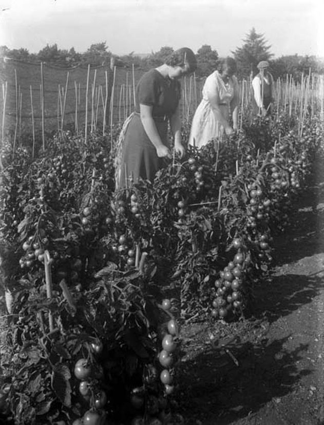 September 10, 1943 Staff of William Power & Co. at work in the firm's tomato plantation, on Dunmore Road, Waterford. Particularly like this photo as it gives the illusion of a Mediterranean climate at work in usually far more chilly Ireland.