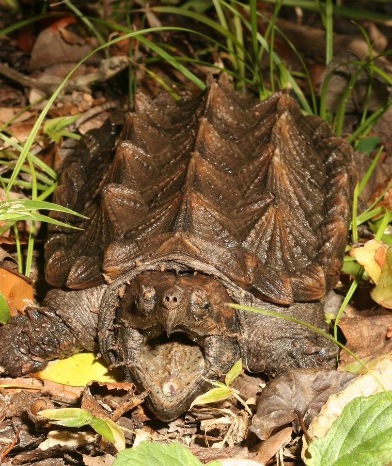 how to take care of a baby snapping turtle
