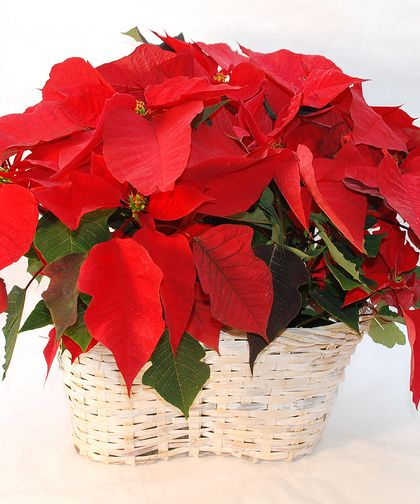 A Whitewashed Wicker Basket is filled with Three 6-Inch Vibrant #Poinsettias.
