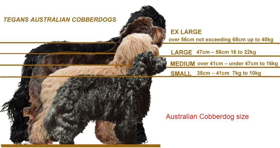 Australian Cobberdogs Size