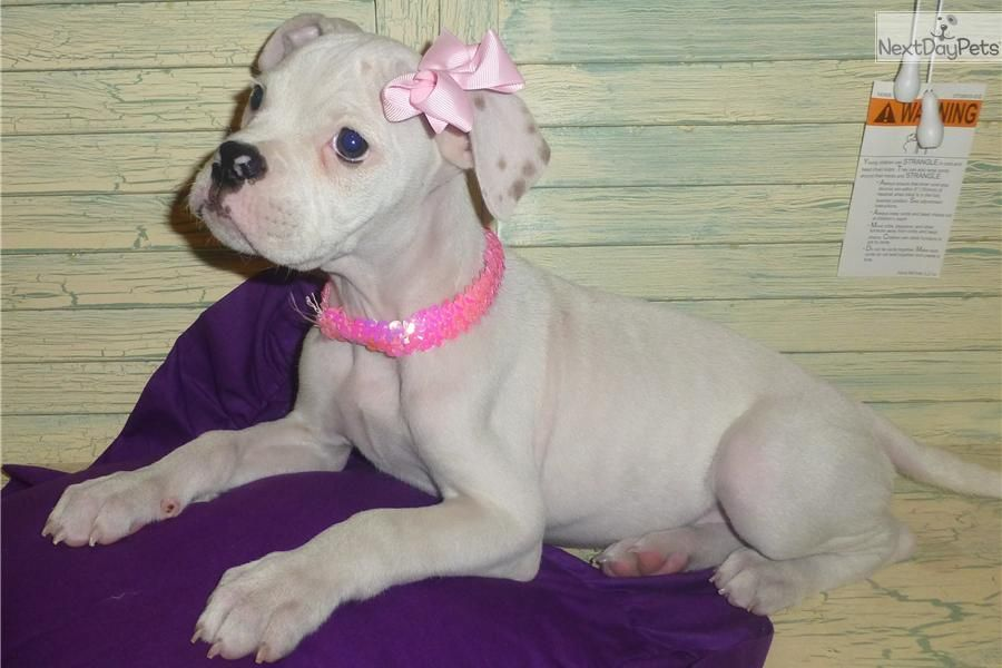 Jewels American Bull Dog Puppy In Conroe Texas American Bulldog Puppies Bulldog Puppies Bulldog Puppies For Sale