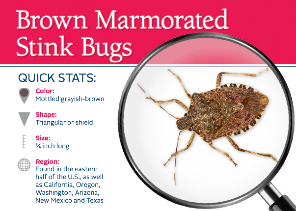 Do stink bugs stink? Learn about stink bug information and