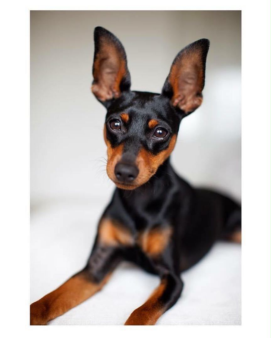Parker min pin at 7 months old Min pin, 7 month olds