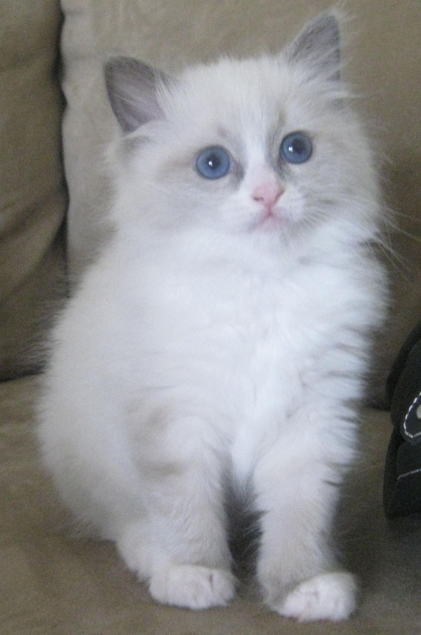 Ragdoll Kitten Dollcatz Blue Bi Colour Still Available