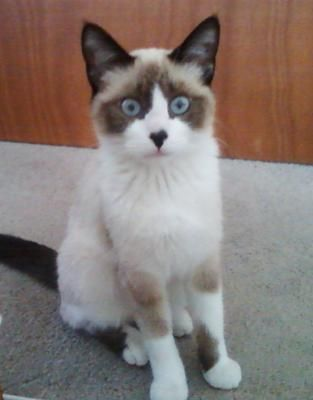 What Type And Color Of Siamese Cat Do I Have Cute Baby Animals