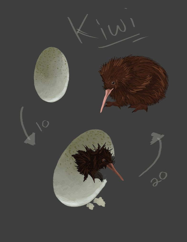 Kiwi Bird Anatomy life cycles t Kiwi