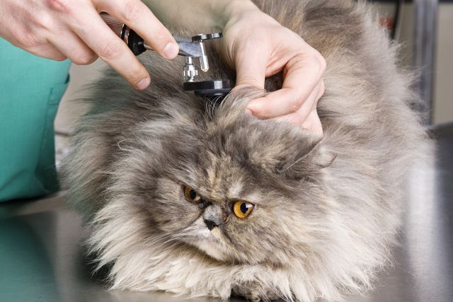 How To Tell If Your Cat Has An Ear Infection Cat Yeast Ear
