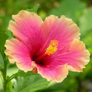 Hibiscus (Any Color)  Plant is part of Hibiscus plant, Hibiscus tree, Hibiscus leaves, Growing hibiscus, Online plant nursery, Plants - Buy hibiscus (any color)  plant from Indias largest online plant nursery at best price  Get a fully grown hib   Free Pot   6000+ Plants   All India Delivery