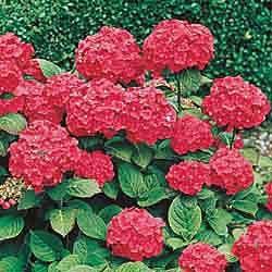 Pin By Candy Whitten On Hydrangeas My True Love In The Garden Red Hydrangea Flowers Full Sun Garden