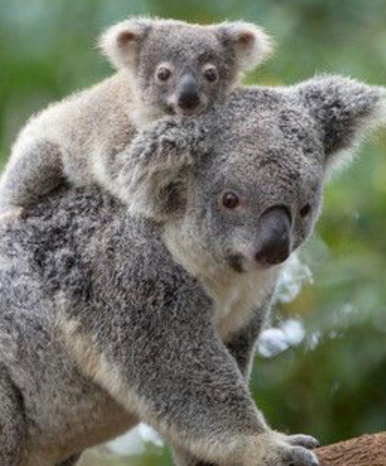Pin Von Xali Williams Auf Koalas Susse Tiere Tiere Tierbilder