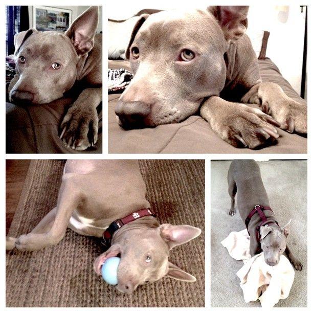 Bonnie #pitbull #dog