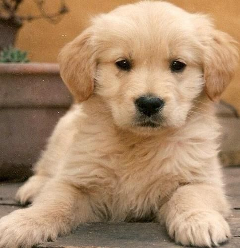 Pin By Kathy Cullen On Animales Golden Retriever Funny Golden Retriever Dogs Golden Retriever