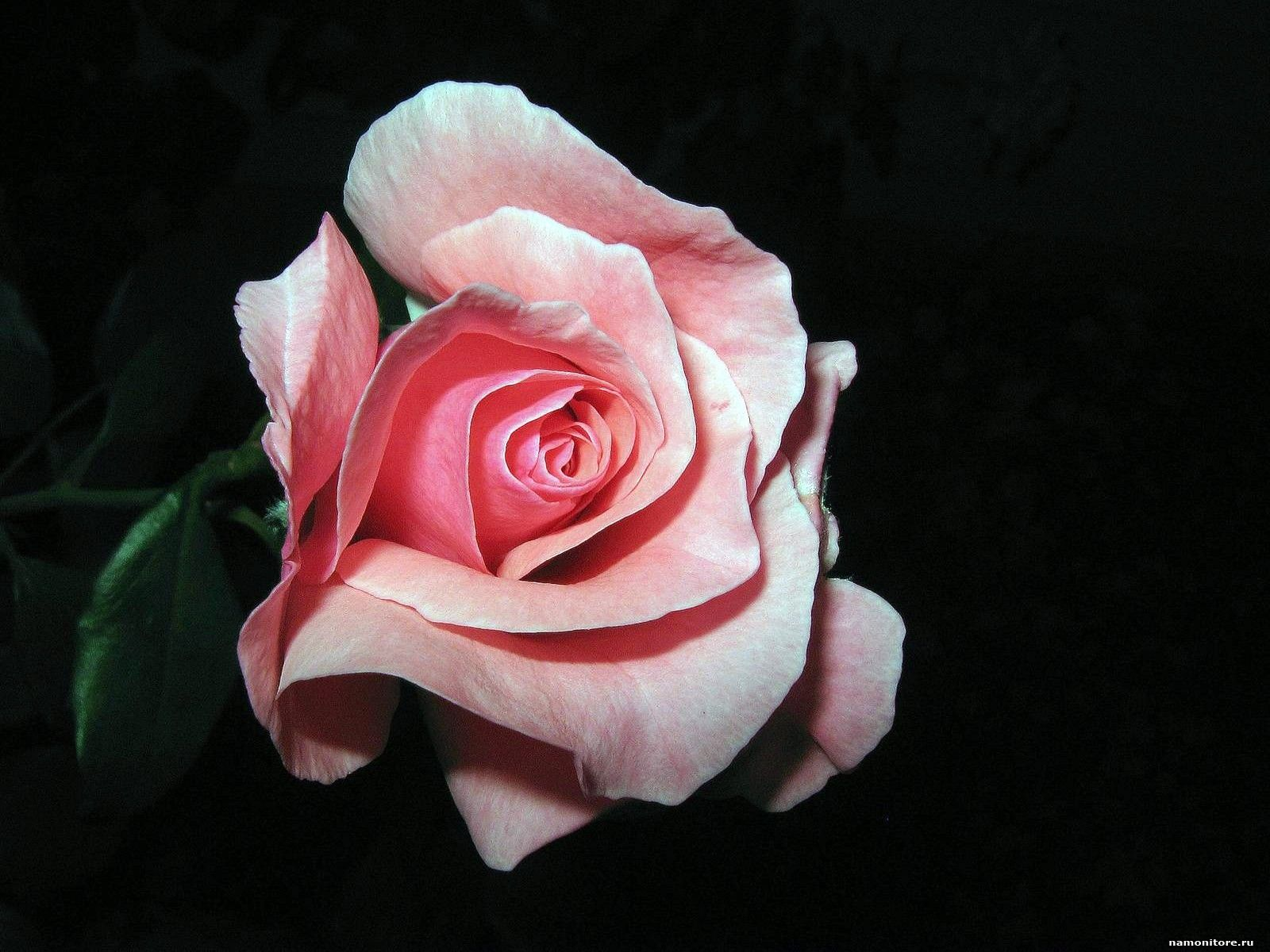 The Pink Rose On A Black Background Black Flowers Pink Roses 1600x1200 Wallpapers Photografies Photo Wallpapers Best Quality Rozy Cvety Raboty