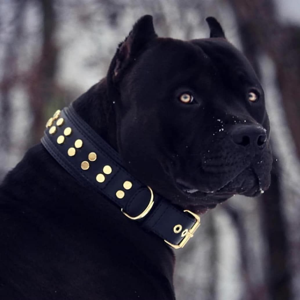 Amazing Dog Follow Canecorsoeurope Canecorso