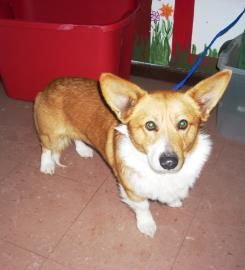 Lovables Ohio Corkie Is A 2yo Pembroke Welsh Cardigan Corgi In Need Of A Loving Adopter Rescue At The Hardin County Dog Shelter With Images Corgi Shelter Dogs Dogs