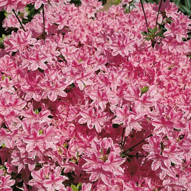 Japanische Azalee Azaleen Pflanzen Kaufen Garten Schluter