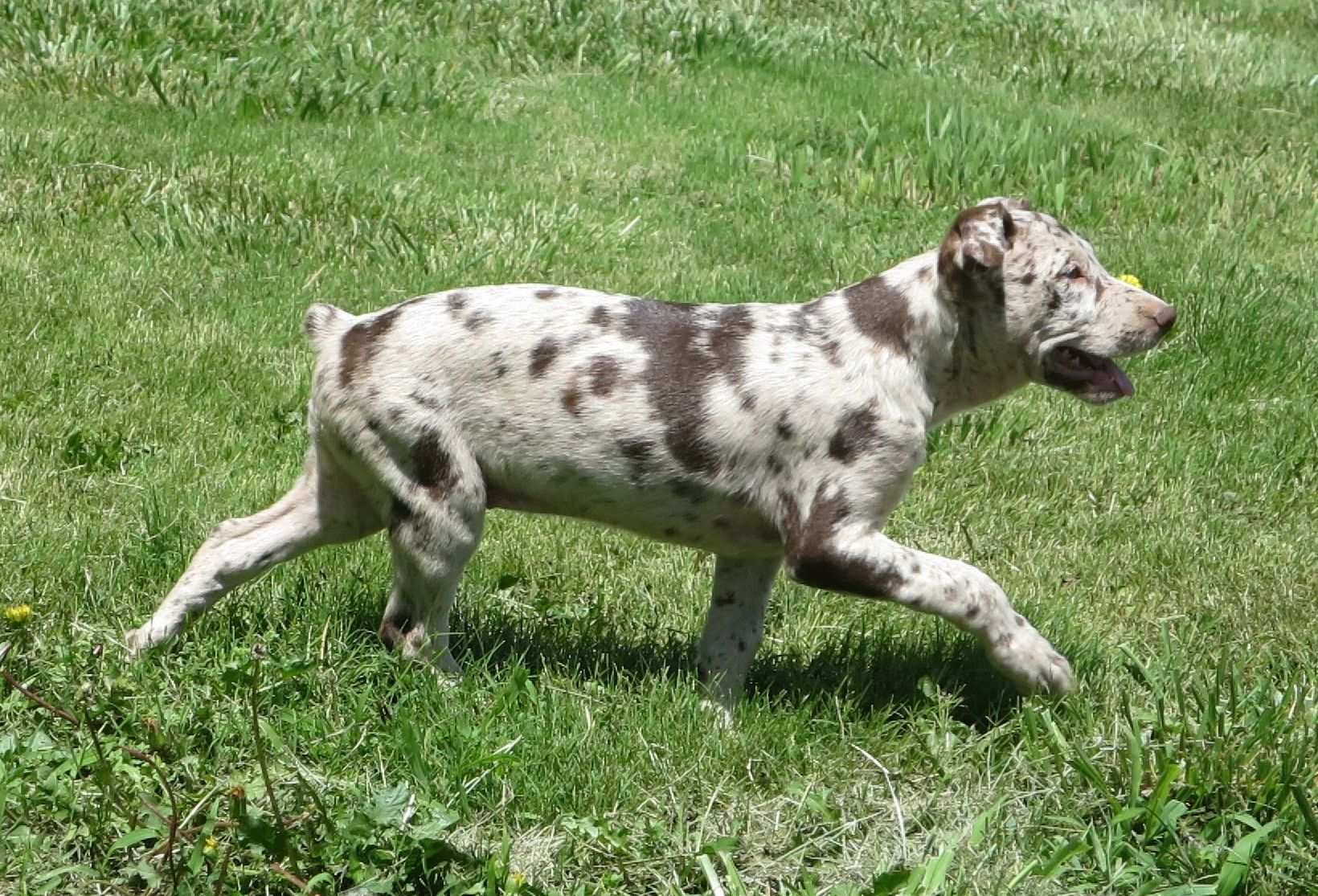 Hanging tree cow dogs for sale - Registered Hangin Tree Cowdog Puppies For Sale For More Information Click On The Image Or