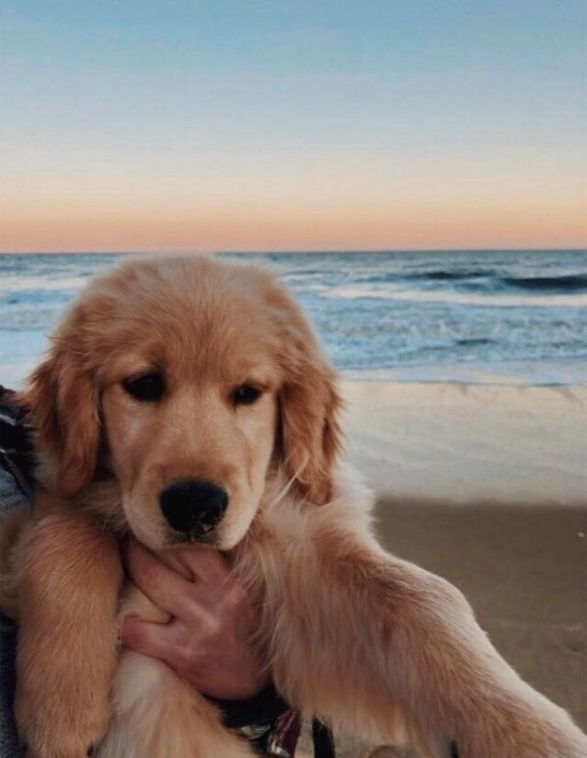 Vsco Puppy Beach Dogs Golden Retriever Retriever Puppy