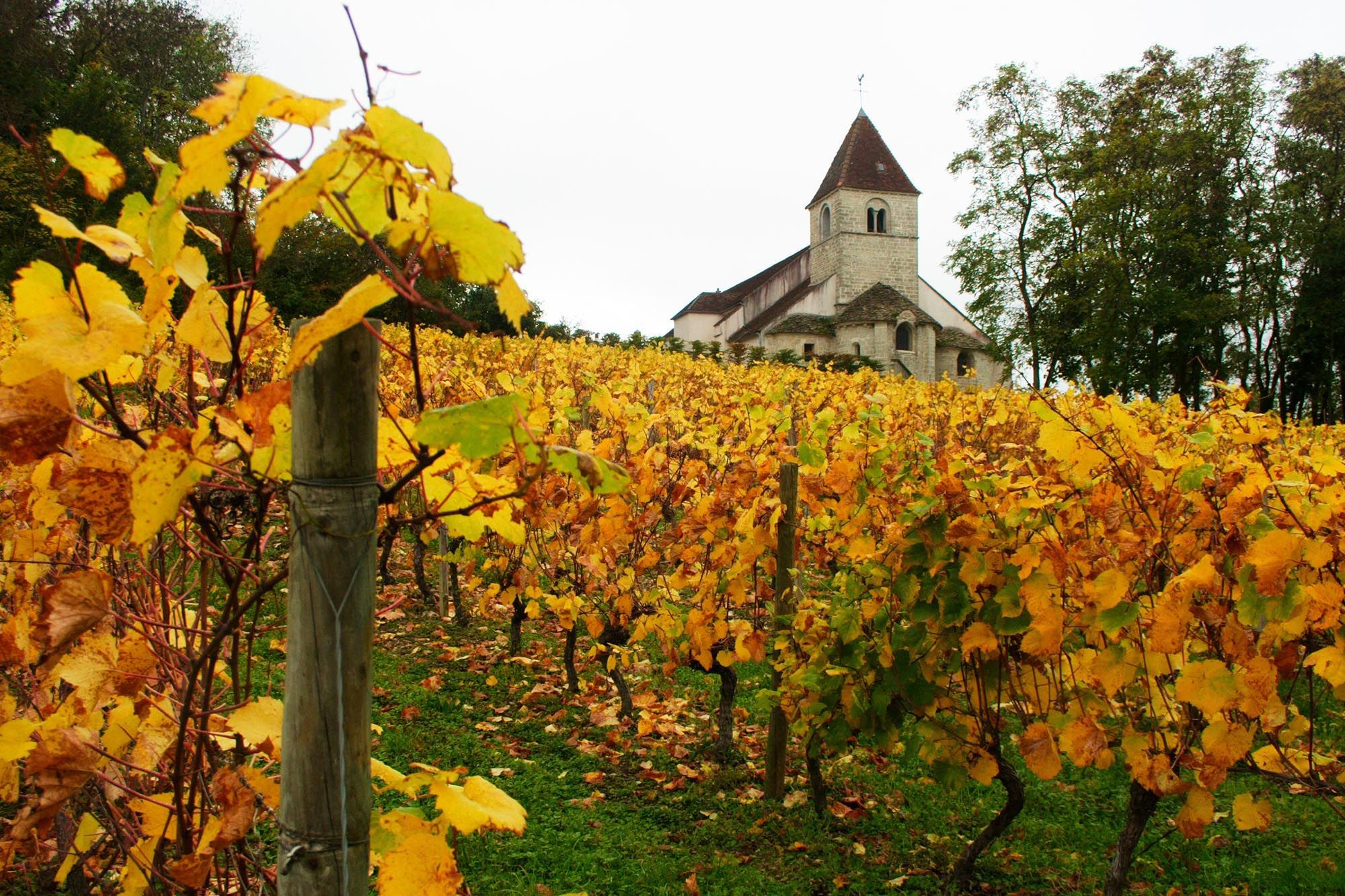 Vignoble Bourgogne Côte d'Or Vineyard, Grape vines, Cahors