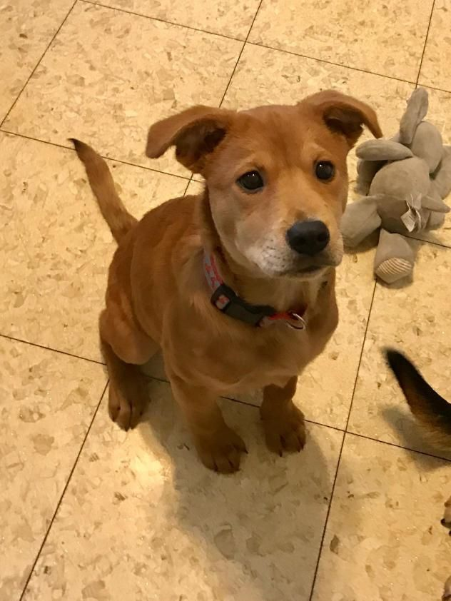 Adopt Biff On Dogs Chow Chow Boxer Mix