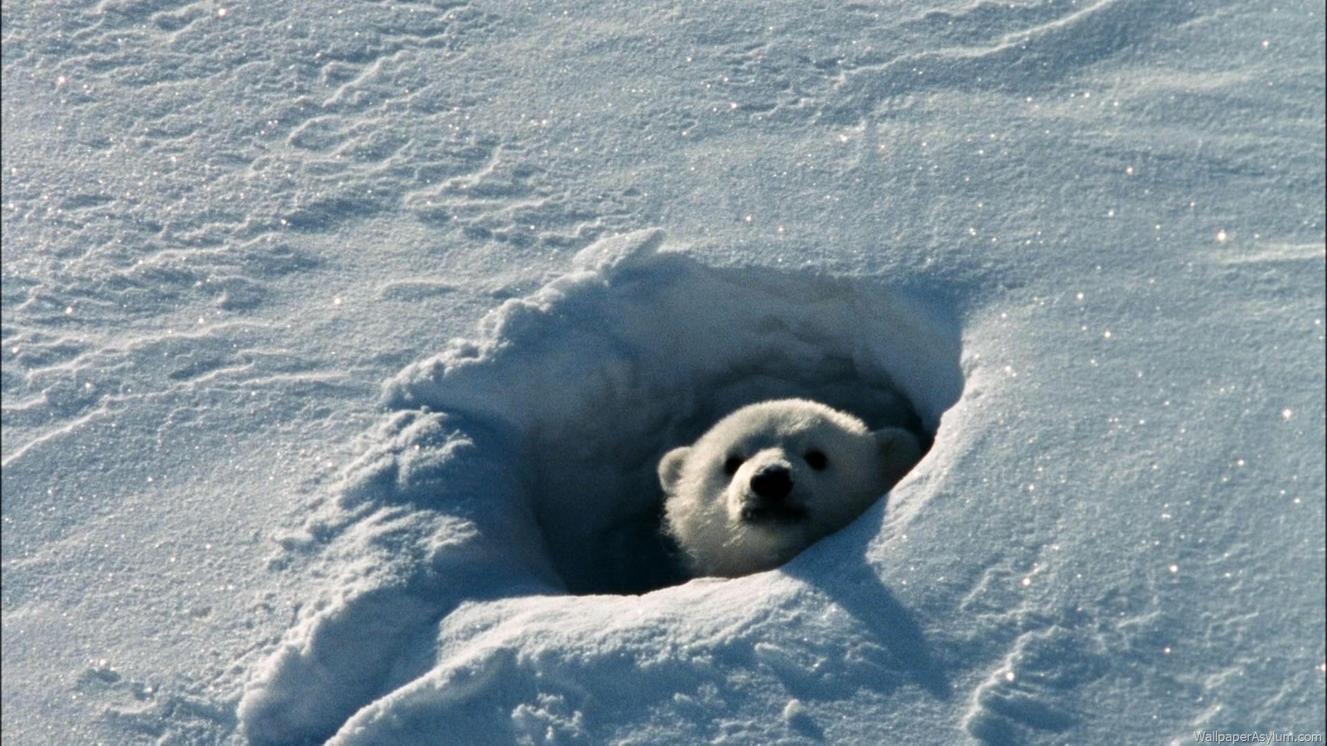 Chillin In This Hole Baby Eisbaren Weisser Bar Tiere