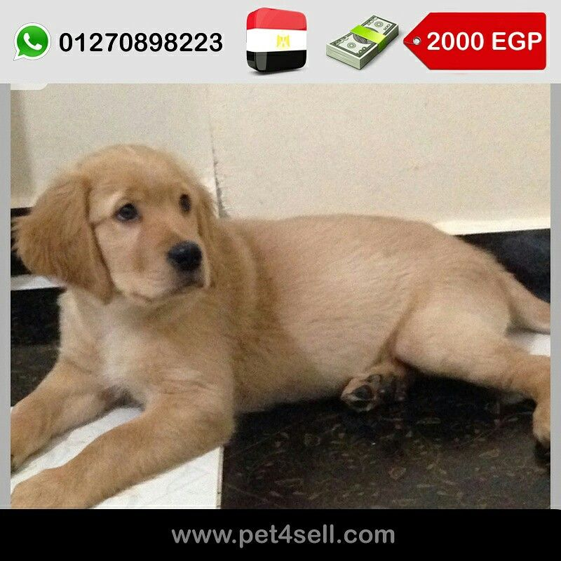 Egypt Cairo Male And Female Golden Retriever Puppies For Sale 3