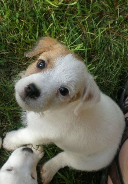 Meet Bennie Jack Russell Jack Russell Terrier Cute Animals