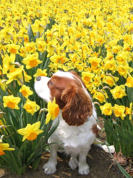 Wil loves daffodils.