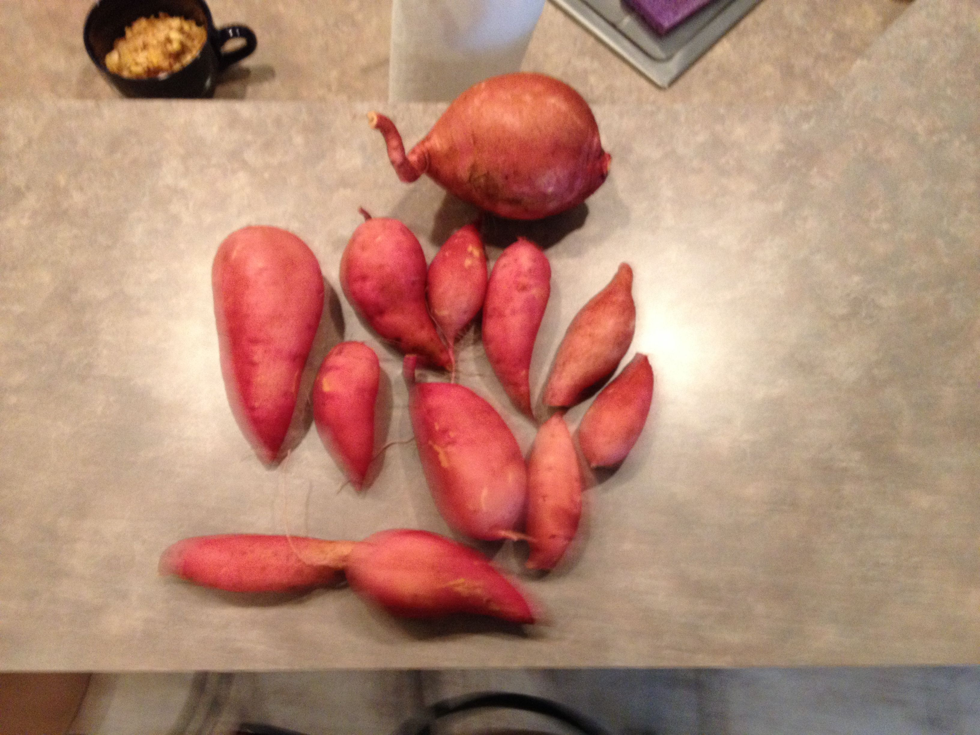 Today's sweet potatoes harvest from the Barefoot Garden