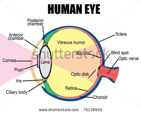 Eye Diagram Labeled For Kids Projects To Try Pinterest Human