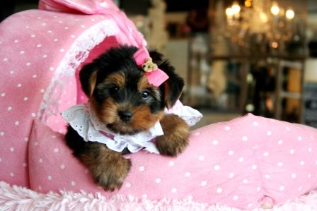 Teacup Yorkies For Sale Teacup Yorkie Dogs Florida Yorkie Teacup Puppies Teacup Puppy Breeds