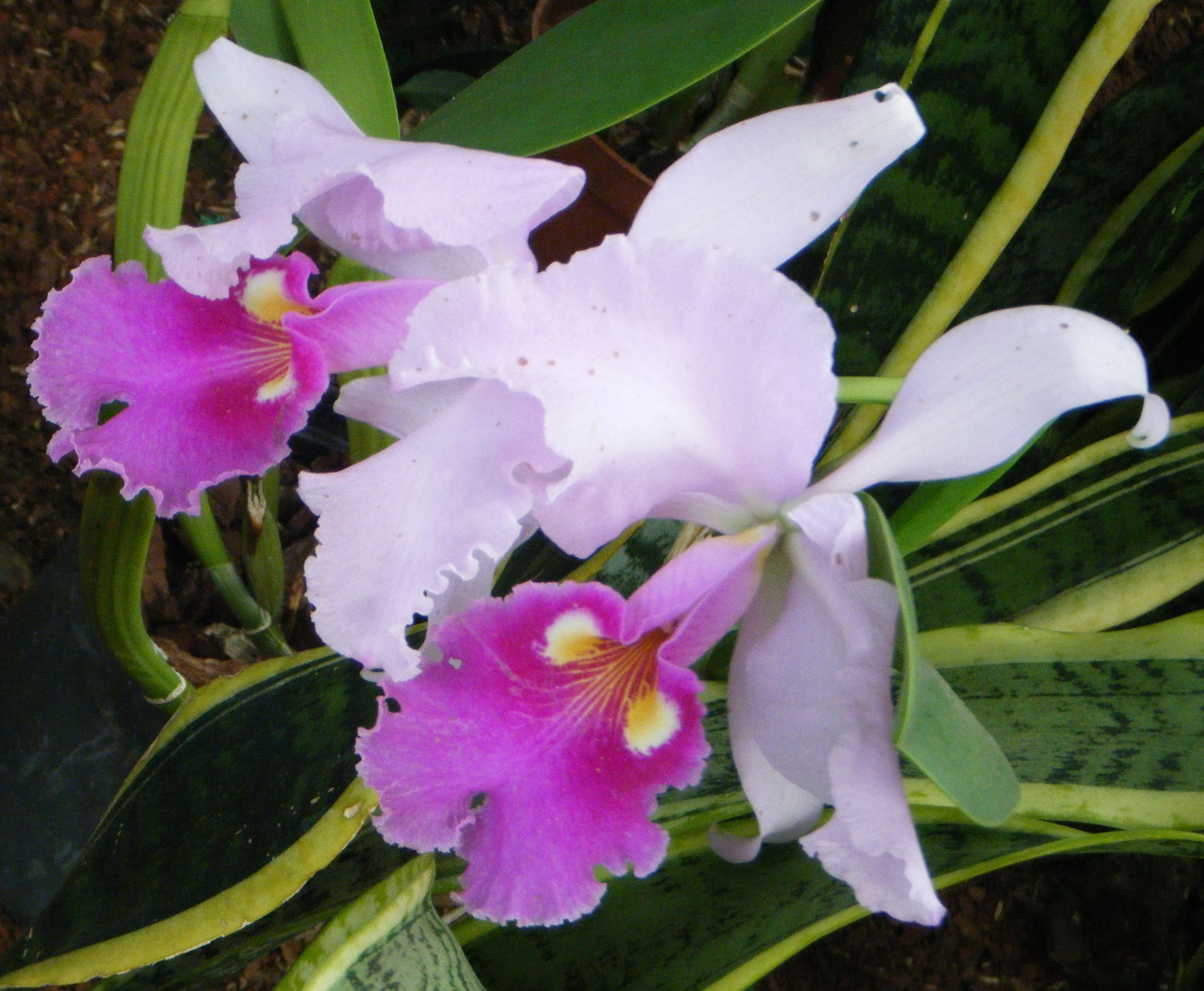 Pin By Yuerly Betancur On Jardin Botanico Orquideas Bromelias Y Helechos Orchids Cattleya Pin Collection