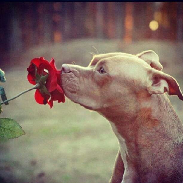 Pittie Stops To Smell The Flowers Pitbulls Beautiful Dogs