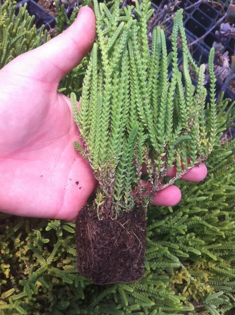 Two Watch Chain Succulent Plants Crassula Iycopioides