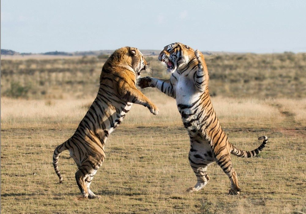 Our Enemies Space Tigers Wild cats, Startled cat, Big cats