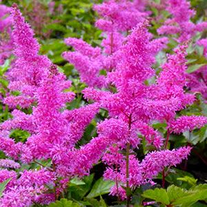 Hot pink astilbe would look great next to the stairs hpu gardens astilbe bloom time late spring summer light shade or part shade water keep soil moist zones good cut flower perfect perennial partner hydrangea mightylinksfo