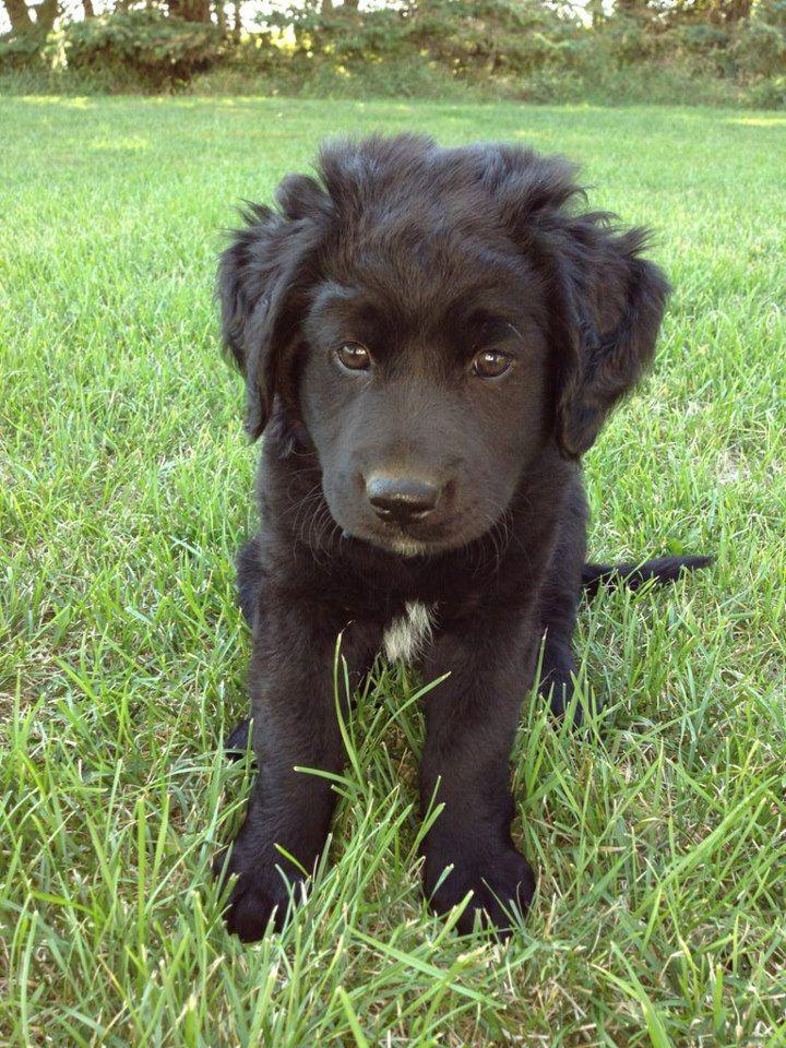 Lab Mixes Landseer Dog Black Labrador Cute Animals
