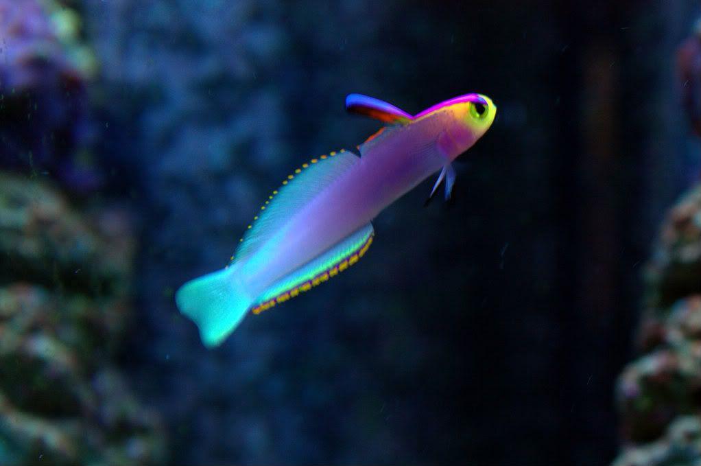 Nemateleotris Helfrichi Marine Fish Tanks Saltwater Fish Tanks Salt Water Fish