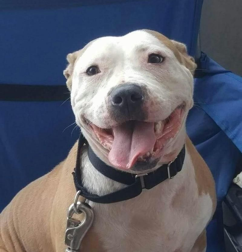 Adopt Honor On Pitbull Terrier Pets Nanny Dog