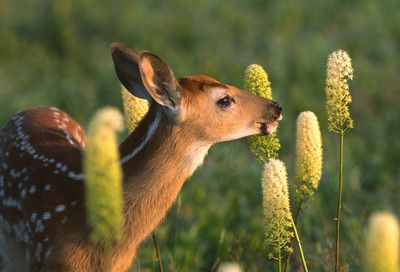 Voiceofnature Animals Deer Forest