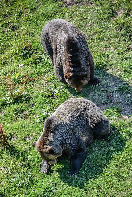 Grizzly Bears at Grouse Mountain North Vancouver BC