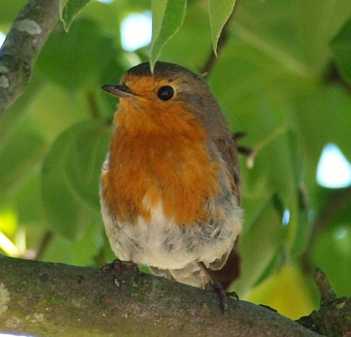 A Robin Bird in our Pear Tree