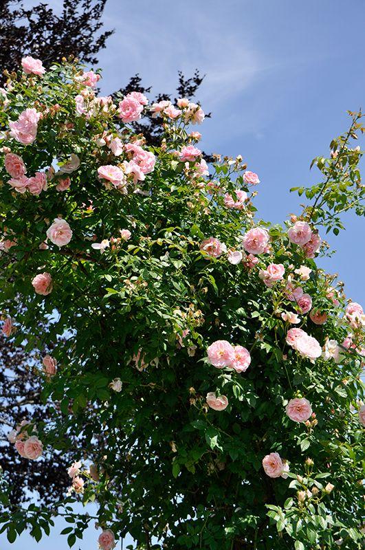 Die Königsdisziplin für jeden Rosenbogen - die Ramblerrose Paul´s